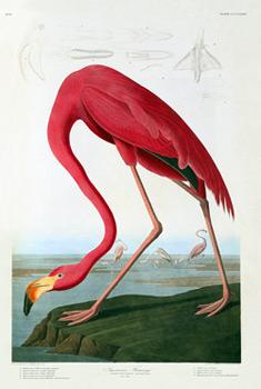 audubon-flamingo