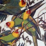 carolina-parrot-princeton2