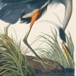 great-blue-heron2