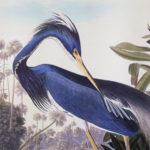 louisiana-heron2