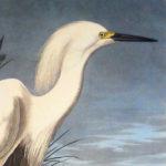 snowy-heron-princeton2