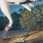 whooping-crane2