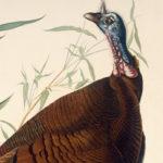 wild-turkey-rp2