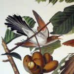 yellow-billed-cuckoo-princeton2