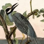 yellow-crowned-night-heron-rp2