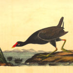 Common-gallinule2