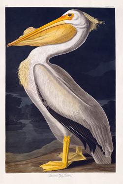 pelican-white