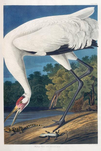 Whooping Crane - Audubon print
