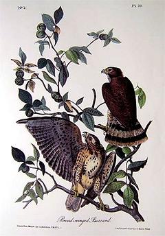 broad-winged-buzzard