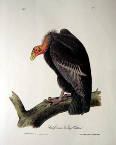 california-turkey-vulture