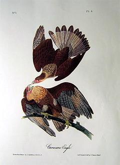 caracara-eagle