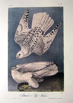 gyr-falcon