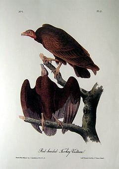 red-headed-turkey-vulture
