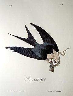 swallow-tailed-hawk