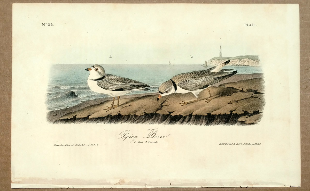 Audubon Octavo Print Piping Plover