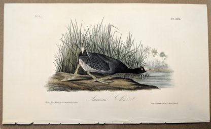 Original print of the American Coot by John J Audubon, plate #305 of the Royal Octavo Edition