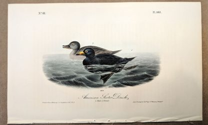 Original print of the American Scoter Duck by John J Audubon, plate #403 of the Royal Octavo Edition