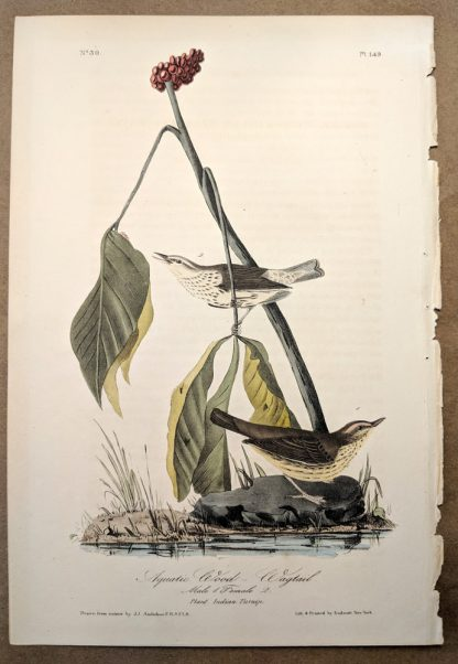 Aquatic Wood Wagtail by John J Audubon, plate #149 of the Royal Octavo Edition