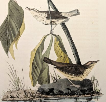 Close-up of the Aquatic Wood Wagtail by John J Audubon, plate #149 of the Royal Octavo Edition