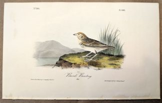 Original print of the Baird's Bunting by John J Audubon, plate #500 of the Royal Octavo Edition