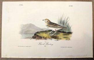 Original print of the Baird's Bunting by John J Audubon, plate #500 of the Royal Octavo Edition