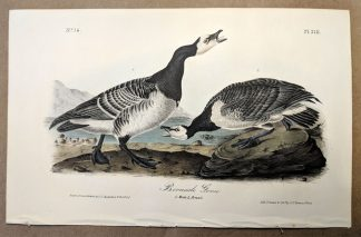 Original print of the Bernacle Goose by John J Audubon, plate #378 of the Royal Octavo Edition