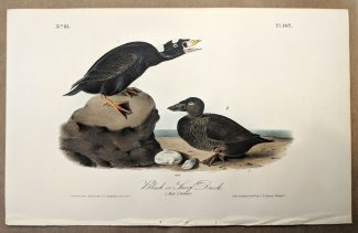 Original print of the Black or Surf Duck by John J Audubon, plate #402 of the Royal Octavo Edition