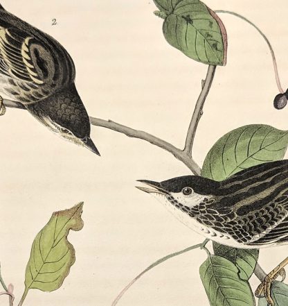 Closeup of Black poll Wood Warbler by John J Audubon, plate #78