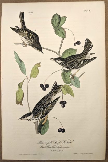 Black poll Wood Warbler by John J Audubon, plate #78