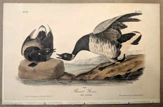Original print of the Brant Goose by John J Audubon, plate #379 of the Royal Octavo Edition