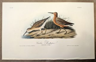 Original print of the Curlew Sandpiper by John J Audubon, plate #333 of the Royal Octavo Edition