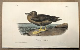 Original print of the Dusky Albatross by John J Audubon, plate #454 of the Royal Octavo Edition