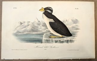 Original print of the Horned-billed Guillemot by John J Audubon, plate #471 of the Royal Octavo Edition