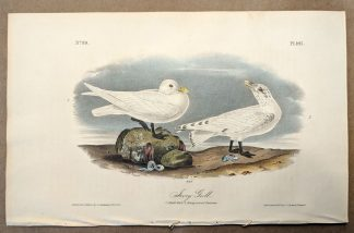 Original print of the Ivory Gull by John J Audubon, plate #445 of the Royal Octavo Edition