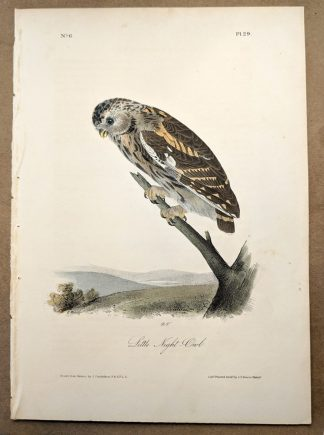 Little Night Owl by John J Audubon, plate #29