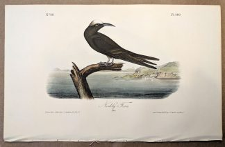 Original print of the Noddy Tern by John J Audubon, plate #440 of the Royal Octavo Edition