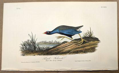 Original print of the Purple Gallinule by John J Audubon, plate #303 of the Royal Octavo Edition