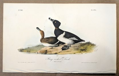 Original print of the Ring-necked Duck by John J Audubon, plate #398 of the Royal Octavo Edition