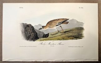 Original print of the Rocky Mountain Plover by John J Audubon, plate #318, from the Royal Octavo Edition