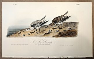 Original print of the Sanderling Sandpiper by John J Audubon, plate #338 of the Royal Octavo Edition