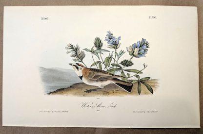 Original print of the Western Shore Lark by John J Audubon, plate #497 of the Royal Octavo Edition