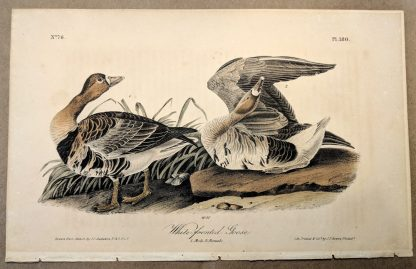 Original print of the White-fronted Goose by John J Audubon, plate #380 of the Royal Octavo Edition