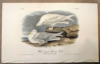 Original print of the White-winged Silvery Gull by John J Audubon, plate #447 of the Royal Octavo Edition