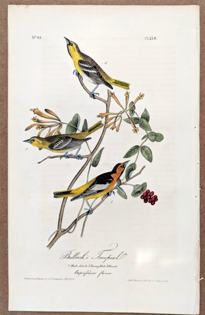 Audubon's Bullock's Troopial from the Royal Octavo First Edition