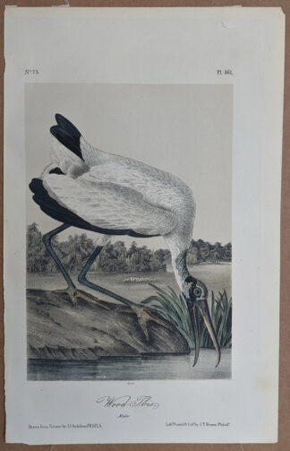 Original Wood Ibis occtavo print from John J Audubon Birds of America