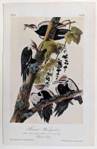 Royal Octavo print of the Pileated Woodpecker, plate 257, by Audubon