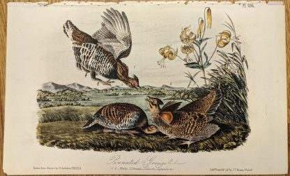 Original Octavo 2nd Edition Pinnated Grouse by Audubon, Plate 296