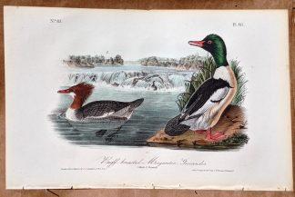 Audubon Octavo print, original Buff Breasted Merganser Goosander, Plate 411