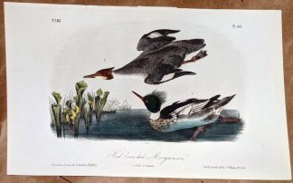 Audubon Octavo print original - Red Breasted Merganser, plate 412