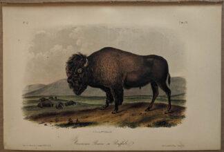 Original American Bison Buffalo lithograph by John J Audubon